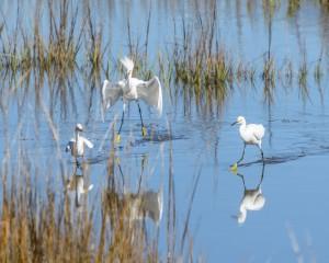 Frisky Snowy Egrets-1