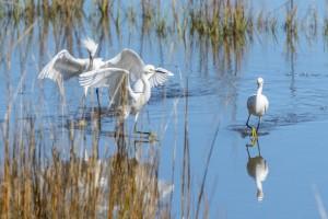 Frisky Snowy Egrets-2