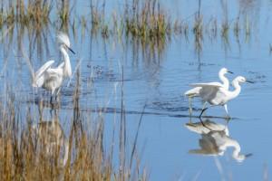 Frisky Snowy Egrets-3