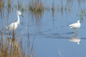 Frisky Snowy Egrets-4