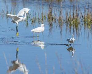 Frisky Snowy Egrets-5