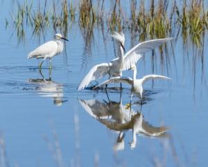Frisky Snowy Egrets-6