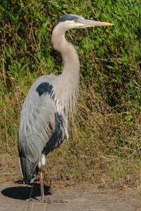 GBH at Pinckney Island National Wildlife Refuge, SC