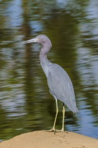 Little Blue Heron (mature)