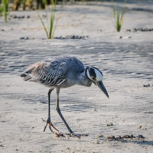 Yellow-Crowned Night Heron-1