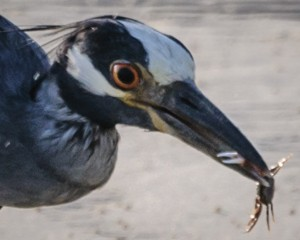 Yellow-Crowned Night Heron feeding