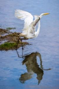 Egret_Away-Cezanne